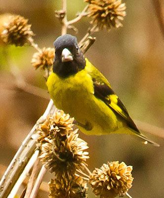Black-headed Siskin - Paul Roisen