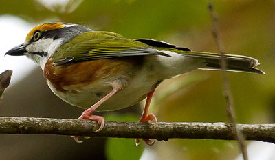Chestnut-sided Shrike-Vireo - Paul Roisen