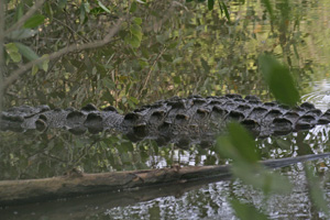 American Crocodile - Ann Johnson