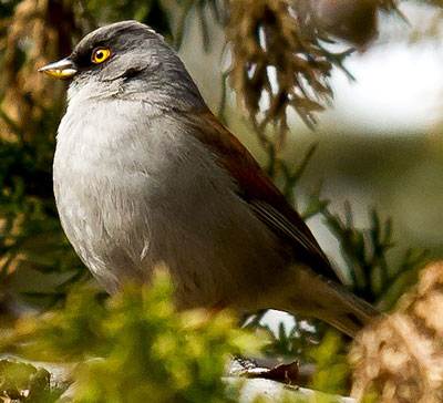 Yellow-eyed Junco - Paul Roisen