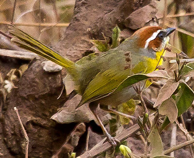 Rufous-capped Warbler - photo by Paul Roisen