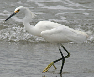 Snowy Egret - Ann Johnson