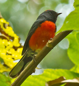Slate-throated Redstart - Paul Roisen