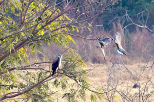 White-tailed Hawk being harrassed by White-throated Magpie-Jays - Paul Roisen